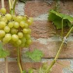 Saftige Weintrauben