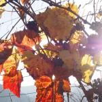 Farbenspiel der Weinreben